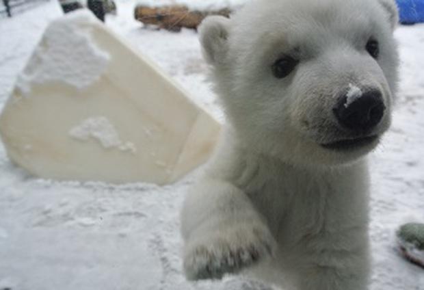 Polar bear cub
