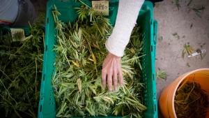 Dried cannabis plants are sorted at the Farmacy in south-west Quebec on Tuesday, Oct. 8, 2013. (THE CANADIAN PRESS / Justin Tang)