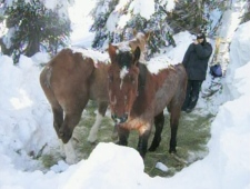 Two abandoned horses discovered by snowmobilers on a mountainside near McBride, B.C. are seen in this Monday, Dec. 22, 2008 image.