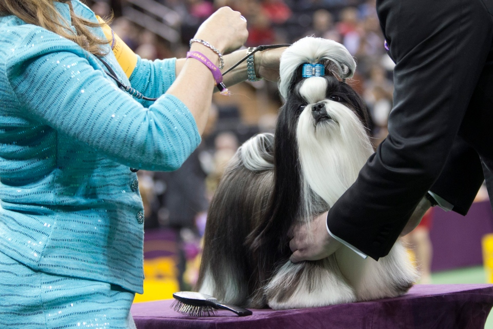 Panda, a shih tzu, is inspected by the judge in the ring during the Toy group competition during the 140th Westminster Kennel Club dog show, Monday, Feb. 15, 2016, at Madison Square Garden in New York. Panda won best in Toy group. (AP/Mary Altaffer)