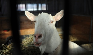 A goat is seen at the Central Experimental Farm in Ottawa on Thursday, January 5, 2012. (THE CANADIAN PRESS / Sean Kilpatrick)