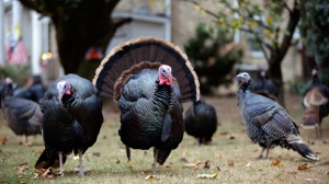 Wild turkeys stand in Mary Jane Froese's parents yard in Staten Island, Monday, Nov. 11, 2013, in New York. (AP Photo/Kathy Willens)