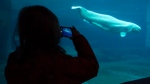 A young girl takes pictures of a beluga whale at the Vancouver Aquarium in Vancouver, B.C., in this file photo from Saturday, Dec. 27, 2014. (Jonathan Hayward/THE CANADIAN PRESS)