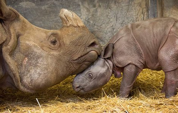 Rhinoceros and calf at Toronto Zoo