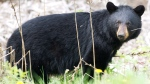 In this file photo, a black bear roams the forest near Timmins, Ont., on Sunday, May 27, 2012. (Nathan Denette / THE CANADIAN PRESS)