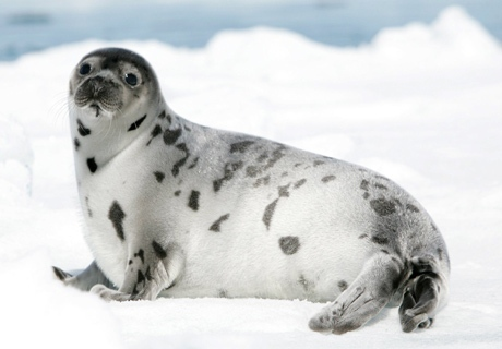 A harp seal lays on a ice floe in the Gulf of St. Lawrence Saturday March 25, 2006. (THE CANADIAN PRESS / Jonathan Hayward)