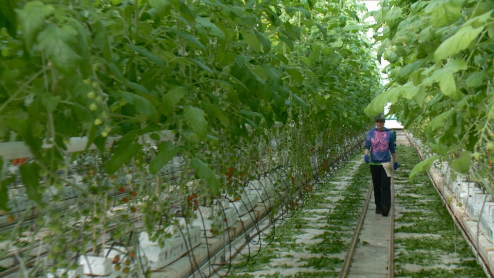 Employee working at SunTech Greenhouses.