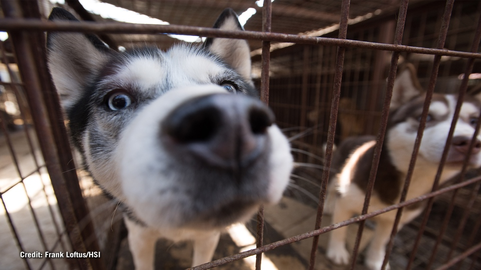A dog peaks out from its cage at a dog meat farm in South Korea. Image courtesy: Frank Loftus/Humane Society International