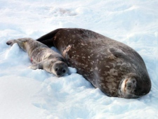 A Weddell seal pup, only a few days old, lies next to his mother in Hero Inlet, near Palmer Station. (AP / National Science Foundation)