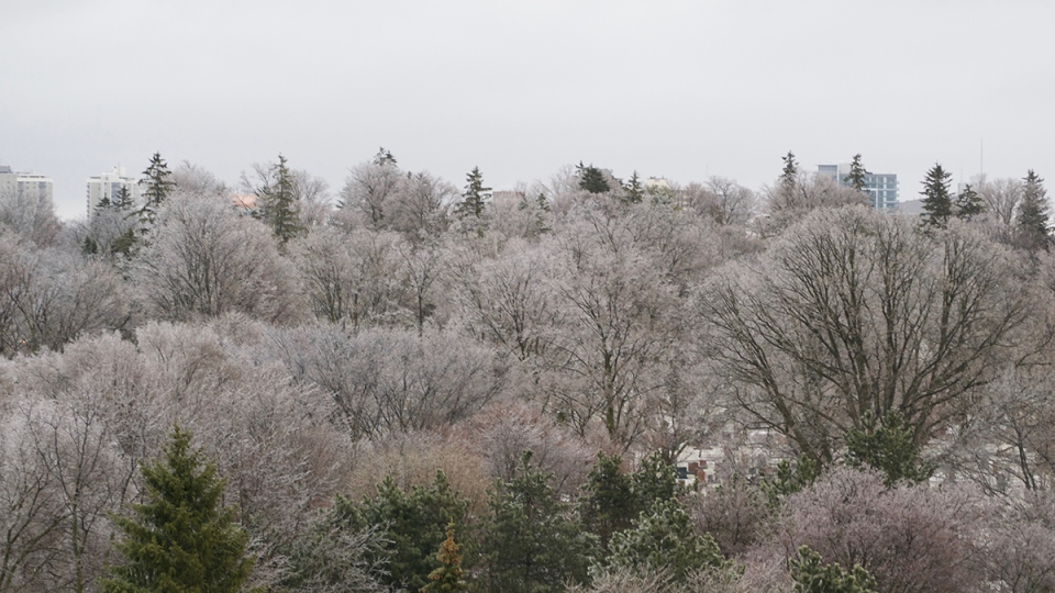 Trees covered in ice following freezing rain in Waterloo, Ont., Wednesday, Feb. 24, 2016. (Pamela Lee / MyNews)