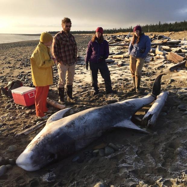 Risso's dolphin at Haida Gwaii