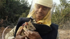 Cambodia enlists rats to find mines
