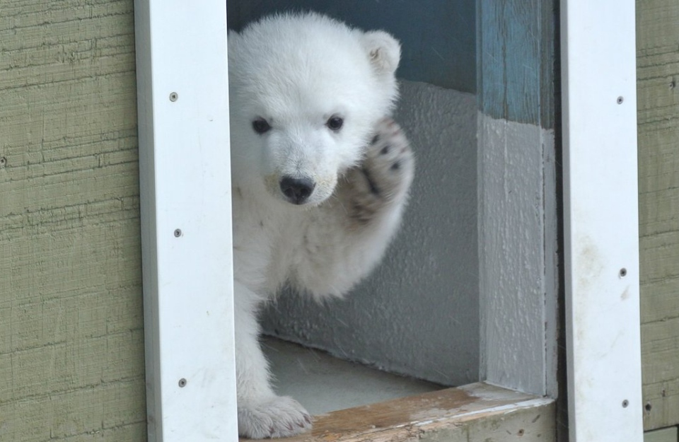 Juno, the Toronto Zoo's 3-month-old polar cub, is seen in this handout photo.