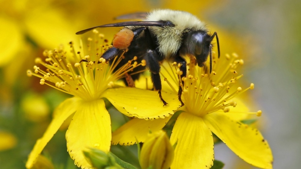 Bees, pollinators on the decline