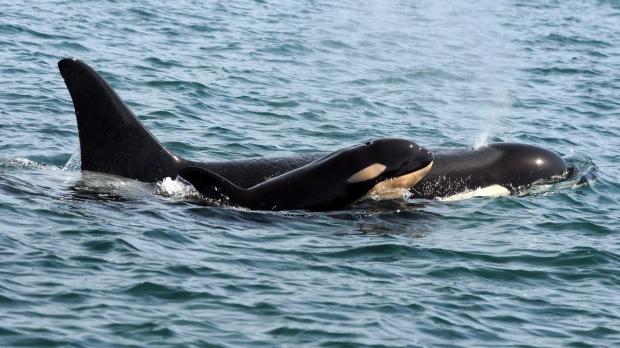 This September 2015 photo provided by the Center for Whale Research taken under National Marine Fisheries Service research permit No. 15569, shows a killer whale calf off British Columbia's coast. (David Ellifrit/Center for Whale Research No. 15569, via AP)