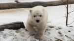 Three-month-old female polar bear cub Juno is seen in this social media photo. (The Toronto Zoo)