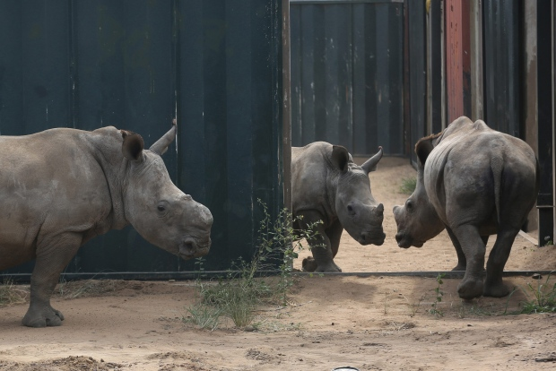 Young rhinos in South African park