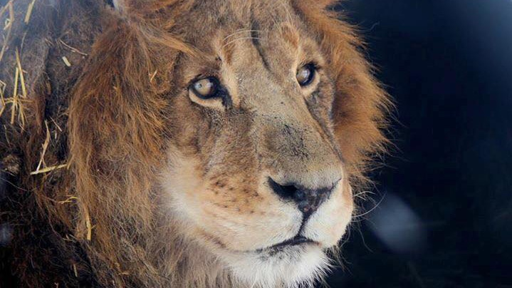 A Papanack Park Zoo lion is shown in this photo from the zoo's Facebook page.