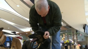 Bolt, a PTSD service dog, meets with Stan Symes in Edmonton, Feb. 28, 2016.