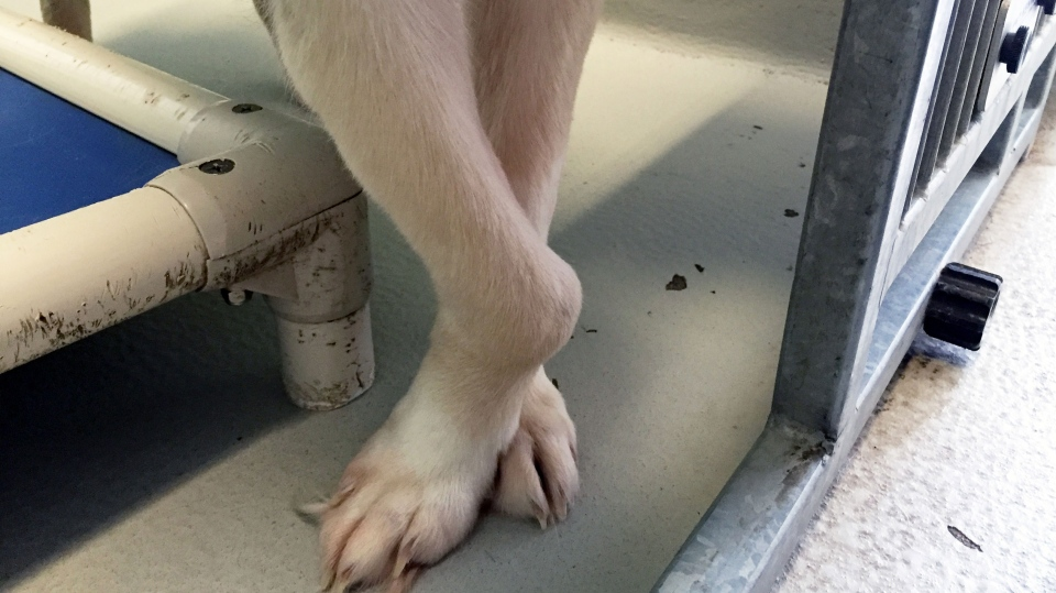 A close-up of Yazmin's injury. (Photo: Winnipeg Humane Society)