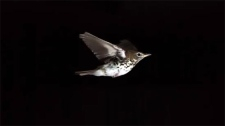 The Messenger, songbirds, Globe Cinema, CWRS, film