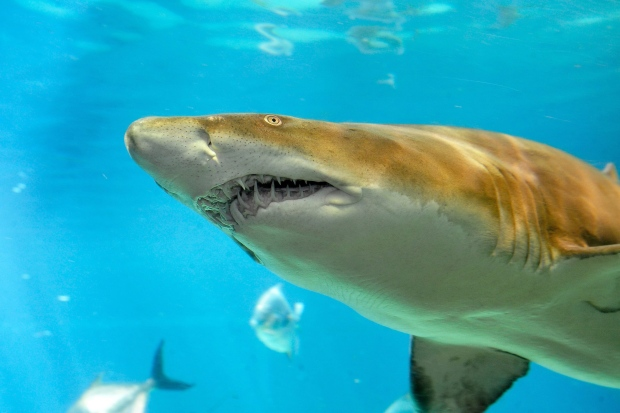 This July 9, 2010 photo provided by the Wildlife Conservation Society shows a sand tiger shark at New York Aquarium in Coney Island, in the Brooklyn borough of New York. (Julie Larsen Maher/Wildlife Conservation Society via AP)