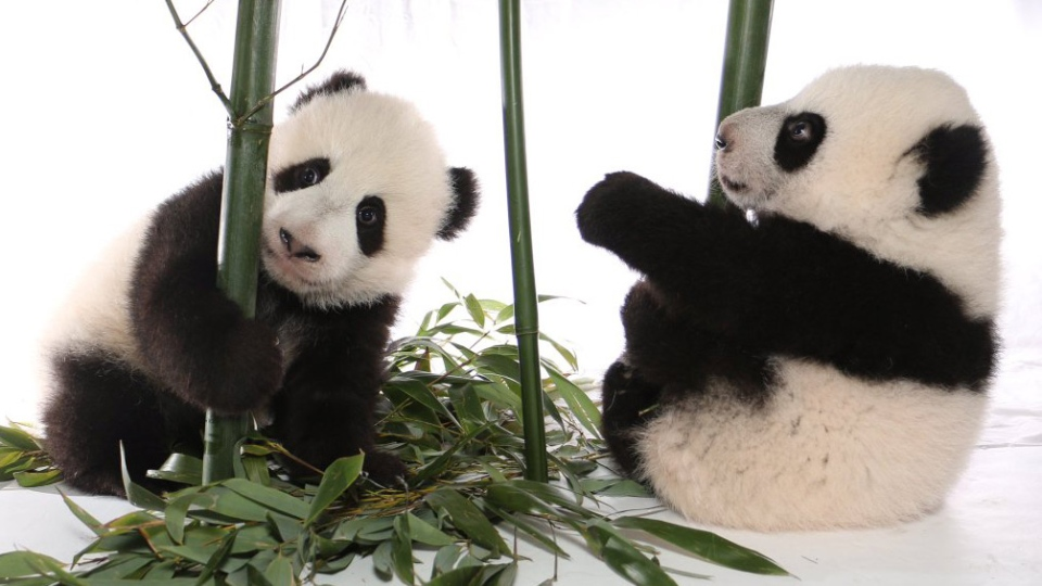The Toronto Zoo's pandas are shown in a photo.