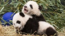 Five-month-old panda cubs Jia Panpan and Jia Yueyue play in an enclosure at the Toronto Zoo, as they are exhibited to the media on Monday, March 7, 2016. THE CANADIAN PRESS/Chris Young