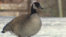 Fort Whyte goose