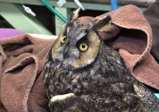 Owl rehab