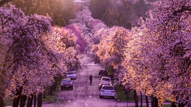Cherry blossoms in Vancouver in 2016. (Photo: Mike Lan/Twitter/@thunderhawk3kca)
