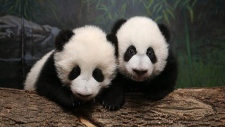 In this photo provided by the Toronto Zoo, panda cubs Jia Panpan and Jia Yueyue are shown.