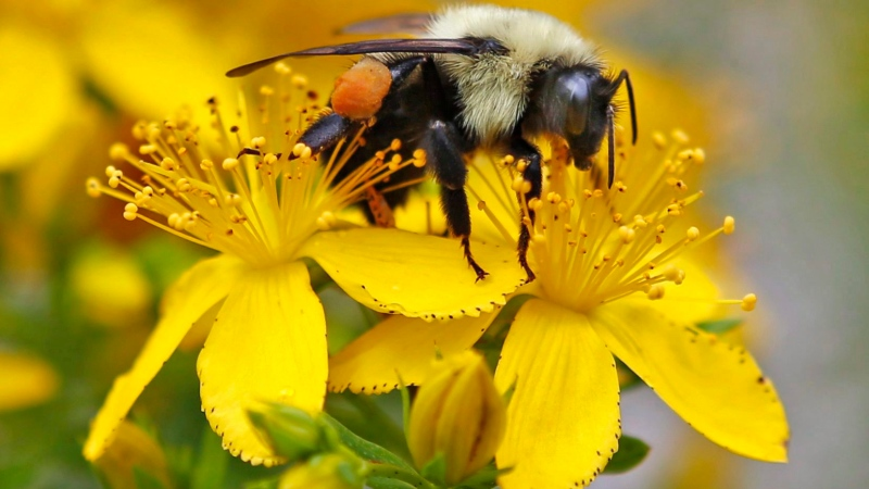 A bumblebee gathers nectar on a wildflower in Appleton, Maine in this July 8, 2015 photo. (Robert F. Bukaty / The Canadian Press)