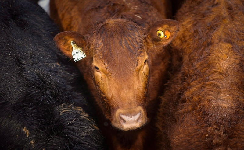 Stoke photo of cattle