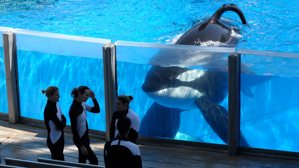 Killer whale Tilikum, right, watches as SeaWorld Orlando trainers take a break during a training session at the theme park's Shamu Stadium in Orlando, Fla., Monday, March 7, 2011. (AP / Phelan M. Ebenhack)