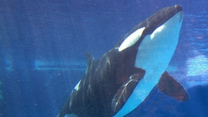 In this May 6, 2002, file photo, shows Takara swimming at SeaWorld in San Diego. (AP / Jack Smith, File)