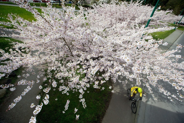 Cherry blossom tree in Vancouver