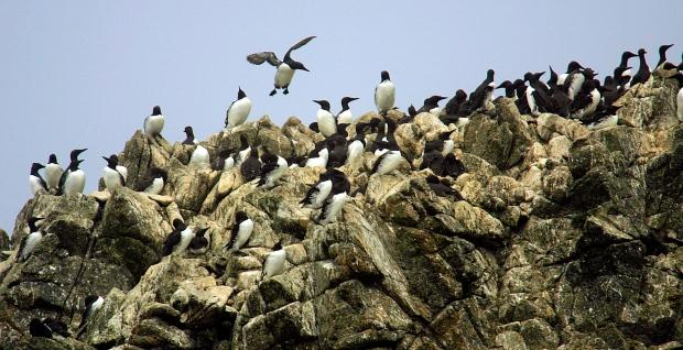 Murres seabirds