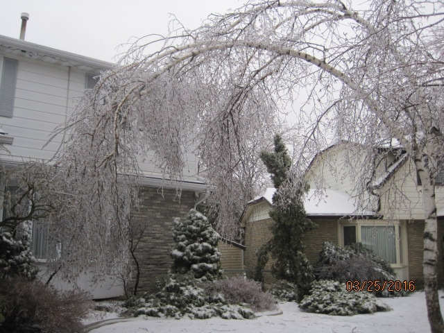 An ice-covered tree seen in Kitchener, Ont., Friday, March 25, 2016. Louis Zister / MyNews)