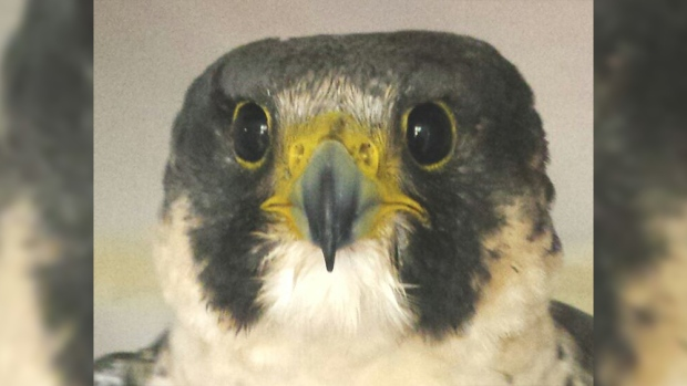 Beatrix the peregrine falcon (Rogers Wildlife Reha