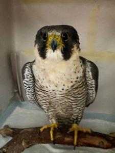 Beatrix the peregrine falcon