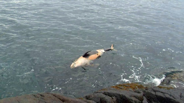 2 Orcas Found Dead In B C Waters Part Of Endangered