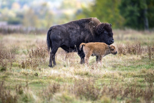 Bison in Elk Island National Park