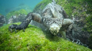 Jeff's Video: Scuba divers capture iguanas diving