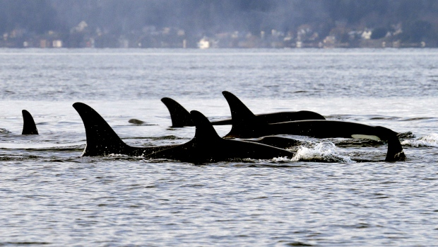 Endangered orcas to get personal health records