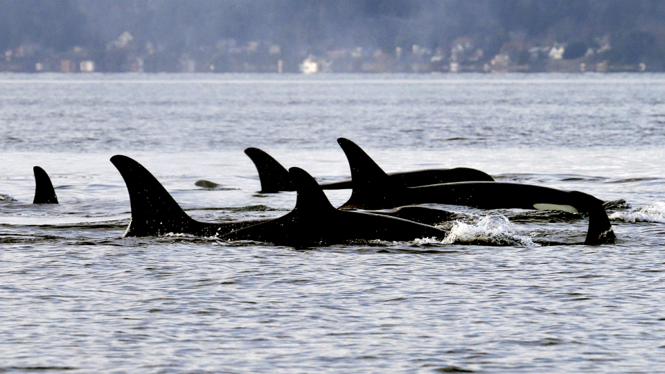 Endangered orcas from the J pod swim in Puget Sound west of Seattle, as seen from a federal research vessel that has been tracking the whales on Jan. 18, 2014. (AP / Elaine Thompson)