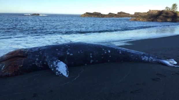 grey whale washed ashore near Tofino