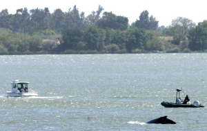 One of two humpback whales surfaces near boats near Rio Vista, Calif., May 21, 2007.  (AP / Rich Pedroncelli)