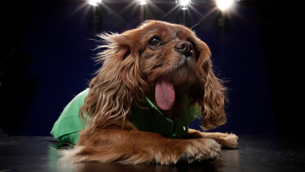 Toast, a 10-year-old a Cavalier King Charles spaniel puppy mill rescue, poses for photos, in New York, Tuesday, April 5, 2016. (AP Photo/Richard Drew)