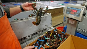Live lobsters are packed and weighed for overseas shipment at the Maine Lobster Outlet in York, Maine on Dec. 10, 2015. (AP)